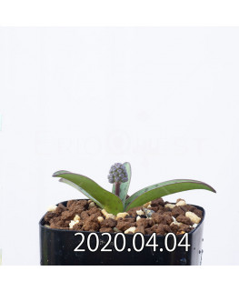 レデボウリア sp. aff. saundersonii 子株 20487