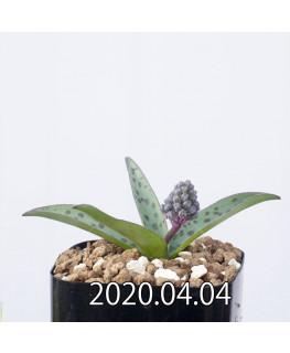 レデボウリア sp. aff. saundersonii 子株 20490