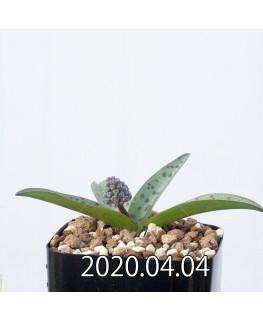 レデボウリア sp. aff. saundersonii 子株 20492