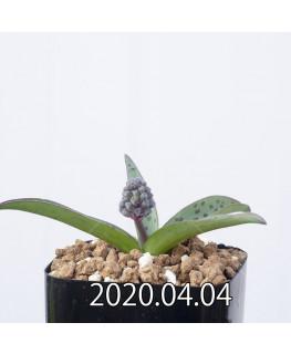 レデボウリア sp. aff. saundersonii 子株 20495