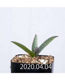レデボウリア sp. aff. saundersonii 子株 20496