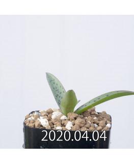 レデボウリア sp. aff. saundersonii 子株 20498