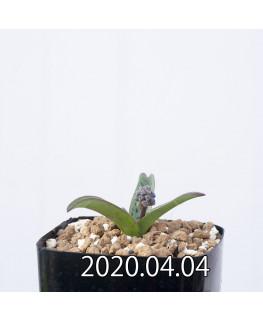 レデボウリア sp. aff. saundersonii 子株 20500