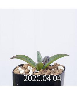 レデボウリア sp. aff. saundersonii 子株 20501