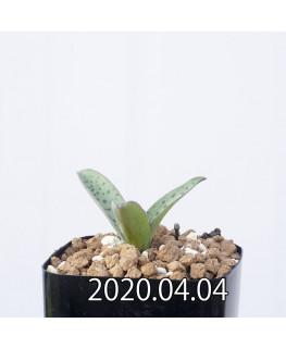 レデボウリア sp. aff. saundersonii 子株 20504