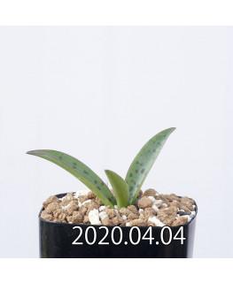 レデボウリア sp. aff. saundersonii 子株 20506