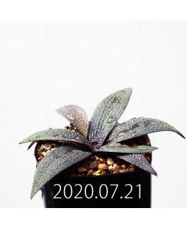 レデボウリア ガルピニー EQ739 子株 20509
