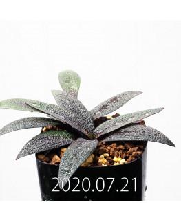 Ledebouria galpinii レデボウリア ガルピニー EQ739  20516