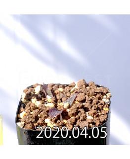 レデボウリア ガルピニー EQ739 子株 20516