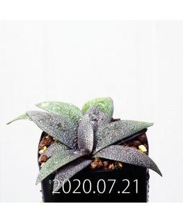 Ledebouria galpinii レデボウリア ガルピニー EQ739  20517