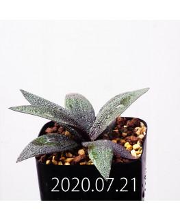 Ledebouria galpinii レデボウリア ガルピニー EQ739  20524