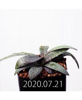 Ledebouria galpinii レデボウリア ガルピニー EQ739  20526