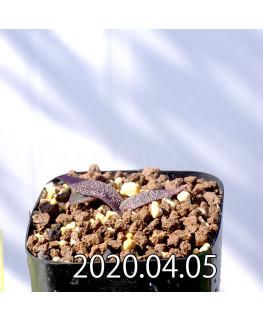 レデボウリア ガルピニー EQ739 子株 20528