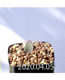 レデボウリア ガルピニー EQ739 子株 20543