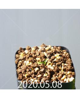 レデボウリア sp. JAA1038 実生 20562