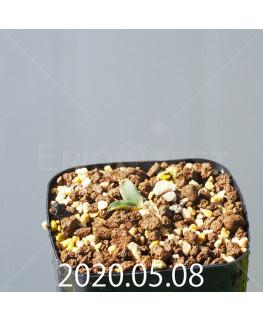 レデボウリア sp. JAA1038 実生 20565