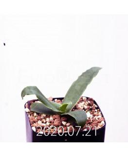 レデボウリア sp. JAA1038 実生 20569
