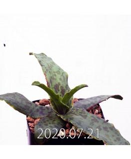 レデボウリア sp. JAA1038 実生 20575