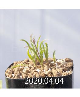 レデボウリア クリスパ 小型 子株 20687