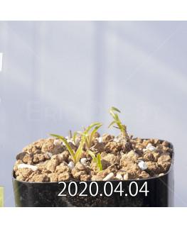 レデボウリア クリスパ 小型 子株 20688