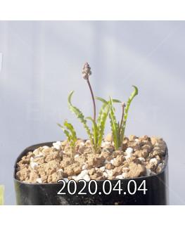 レデボウリア クリスパ 小型 子株 20690