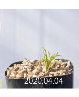 レデボウリア クリスパ 小型 子株 20694