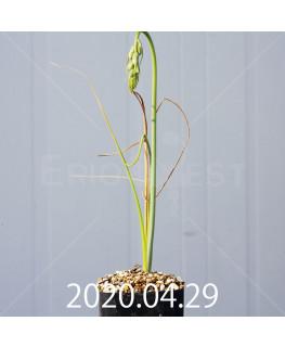 アルブカ フラグランス EQ887 実生 20745