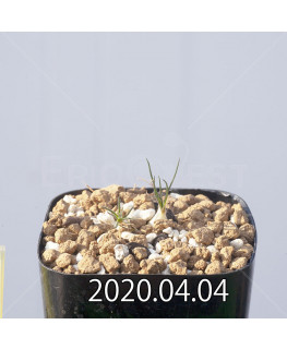 オーニソガラム サルディエニー ES16055 子株 20762