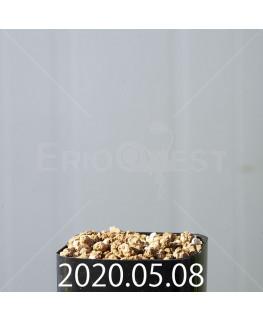 ドリミオプシス アトロプルプレア EQ756 実生 20832
