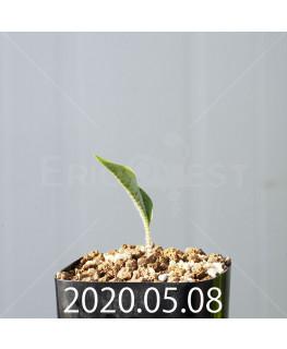 ドリミオプシス アトロプルプレア EQ756 実生 20834