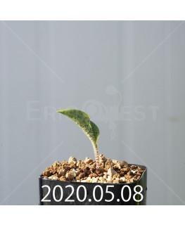 ドリミオプシス アトロプルプレア EQ756 実生 20836