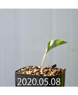 ドリミオプシス アトロプルプレア EQ756 実生 20839