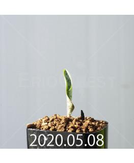 ドリミオプシス アトロプルプレア EQ756 実生 20841