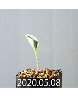 ドリミオプシス アトロプルプレア EQ756 実生 20844