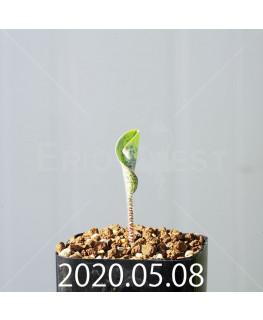 ドリミオプシス アトロプルプレア EQ756 実生 20845