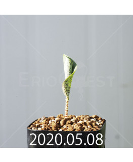 ドリミオプシス アトロプルプレア EQ756 実生 20848