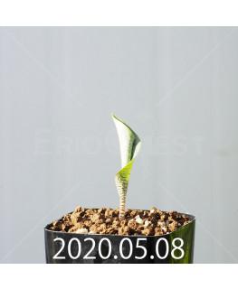 ドリミオプシス アトロプルプレア EQ756 実生 20850