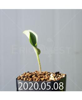 ドリミオプシス アトロプルプレア EQ756 実生 20851