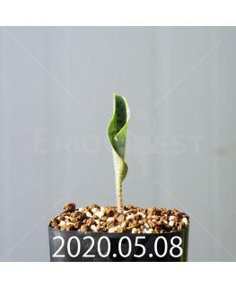 ドリミオプシス アトロプルプレア EQ756 実生 20854
