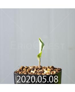 ドリミオプシス アトロプルプレア EQ756 実生 20855