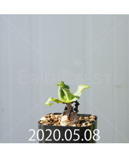 レデボウリア コンカラー DMC10146 子株 20860