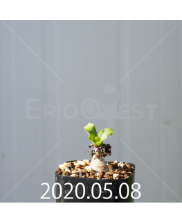 レデボウリア コンカラー DMC10146 子株 20865