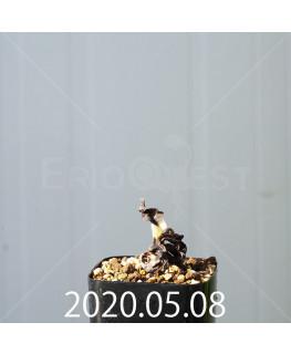 レデボウリア コンカラー DMC10146 子株 20866
