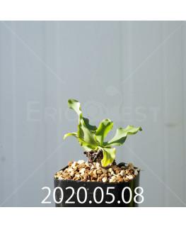 レデボウリア コンカラー DMC10146 子株 20883
