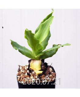 Ledebouria concolor レデボウリア コンカラー DMC10146  20884