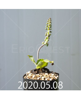 レデボウリア コンカラー DMC10146 子株 20889