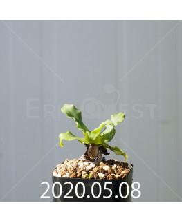 レデボウリア コンカラー DMC10146 子株 20892