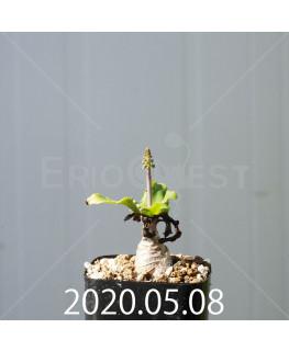 レデボウリア コンカラー DMC10146 子株 20895