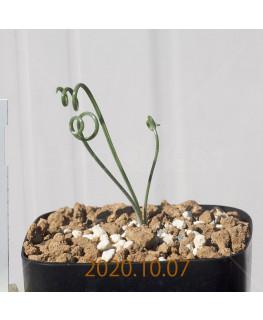 Albuca spiralis アルブカ スピラリス EQ108  21343