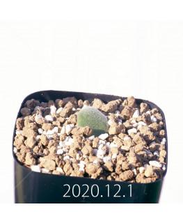 Lachenalia trichophylla ラケナリア トリコフィラ EQ842  22189